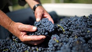 Hands holding grapes at De Bortoli Wines Yarra Valley Estate Harvest