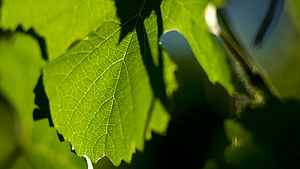De Bortoli Wines King Valley Grape Vine Leaves